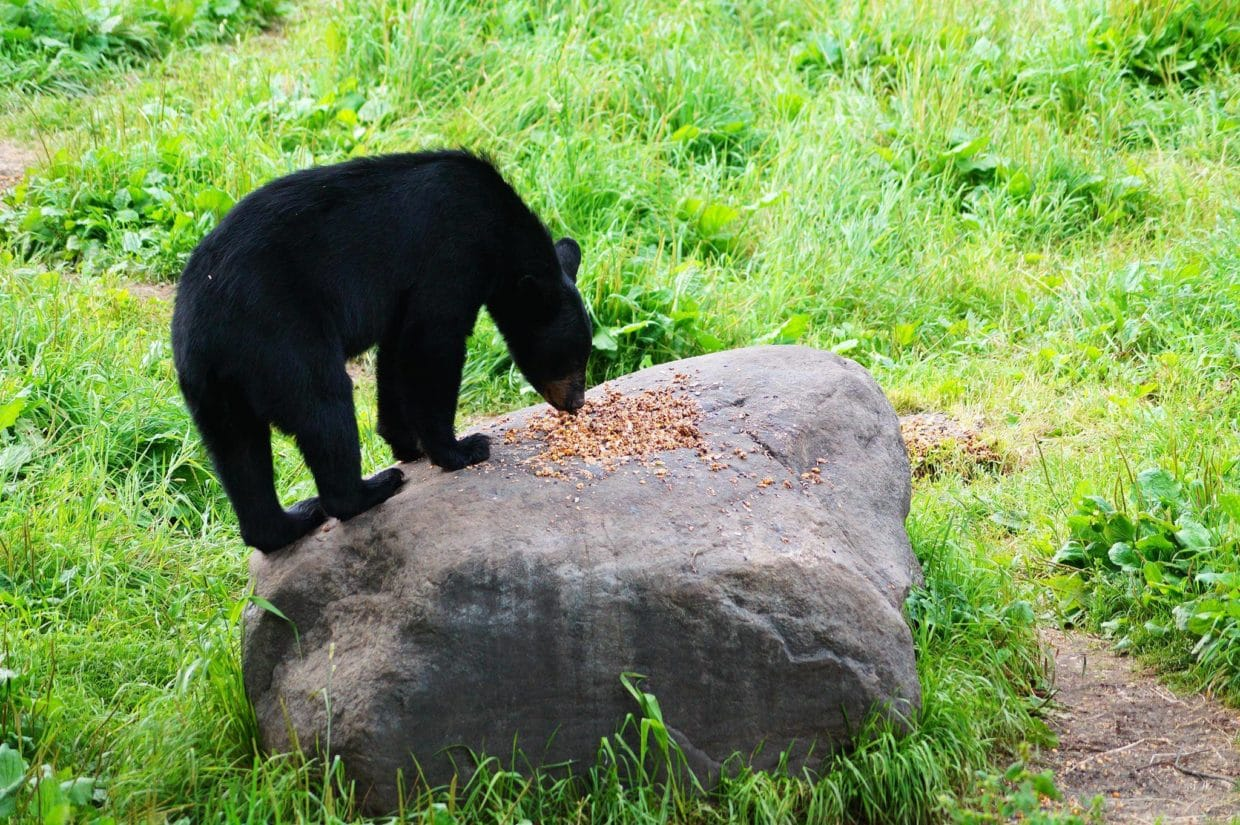Bear standing on rock at Vince Shute Bear Sanctuary