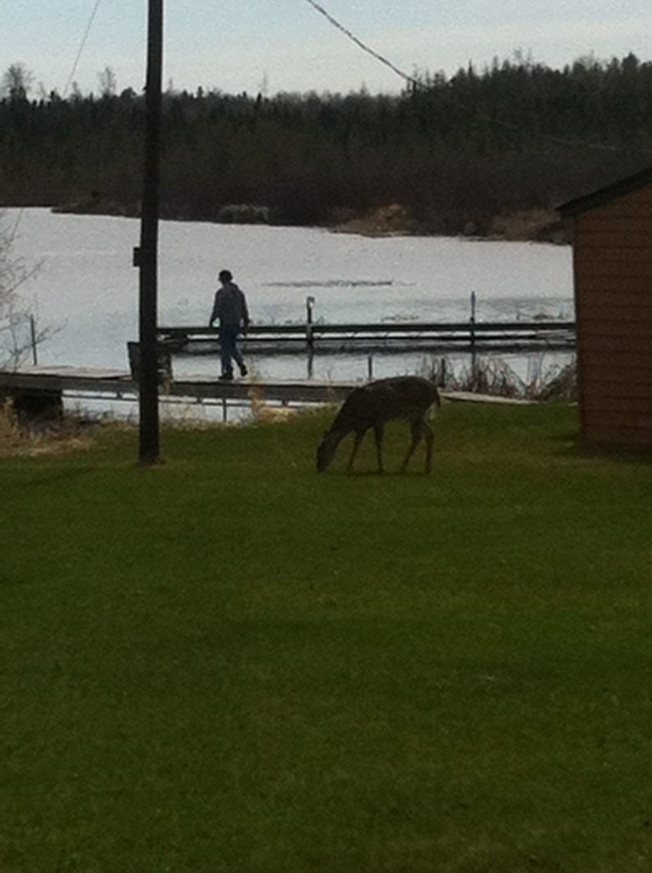 deer grazing at Everett Bay Lodge on Lake Vermilion