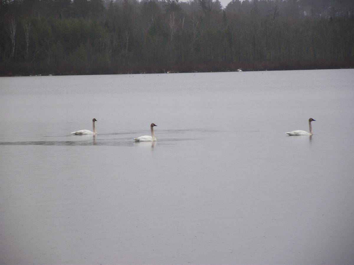 swans on Lake Vermilion