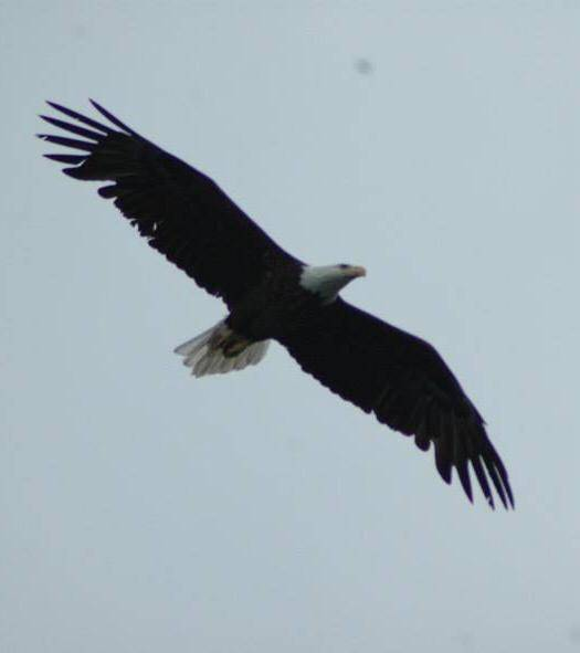 eagle at Lake Vermilion