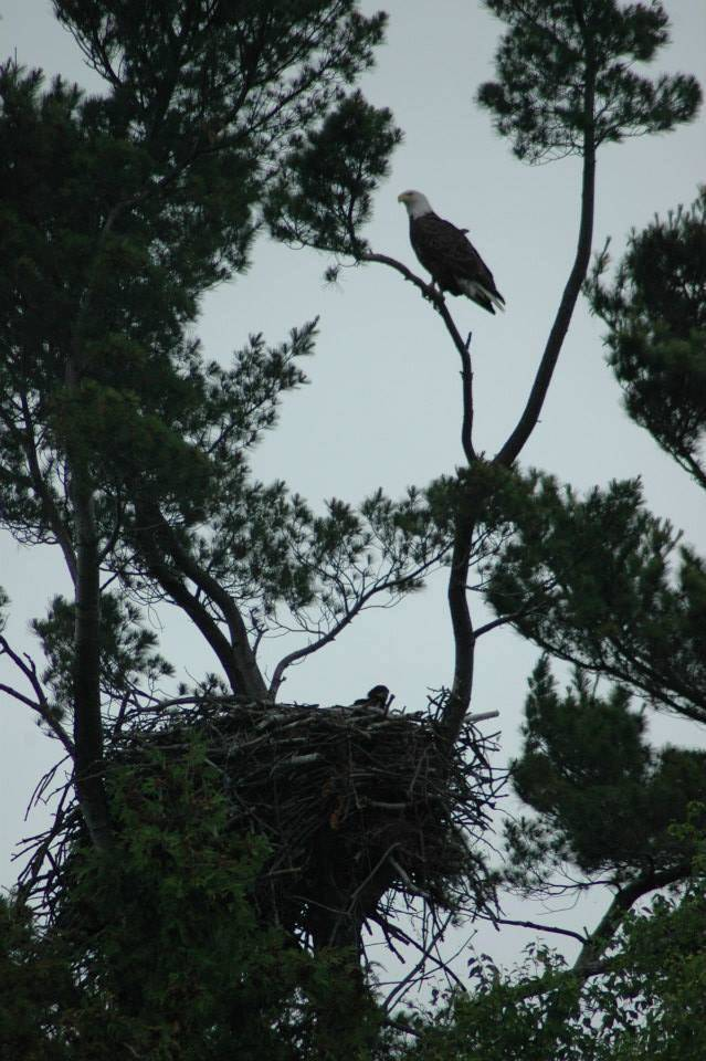 eagle in nest at Lake Vermilion