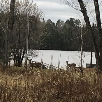 Lake Vermilion deer