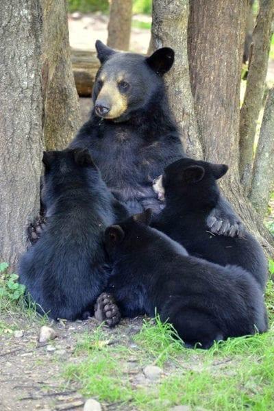 Vince Shute Bear Sanctuary near Everett Bay Lodge